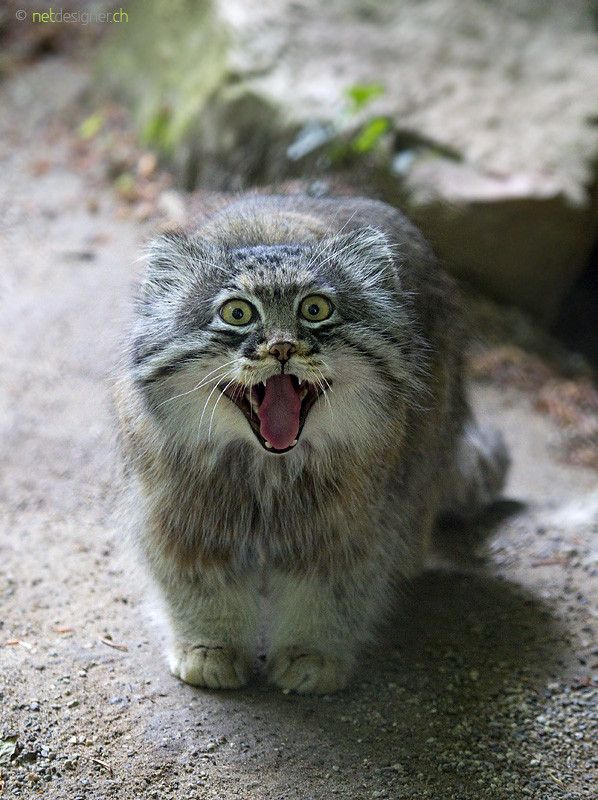 HQ Pallas's Cat Wallpapers | File 96.23Kb