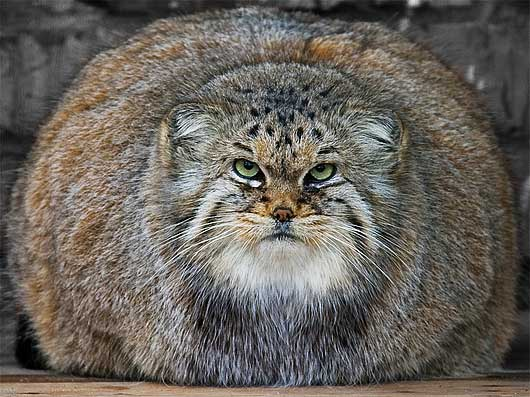 HD Quality Wallpaper | Collection: Animal, 530x397 Pallas's Cat
