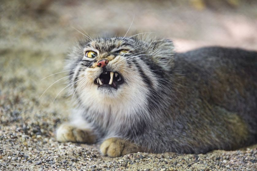 838x558 > Pallas's Cat Wallpapers