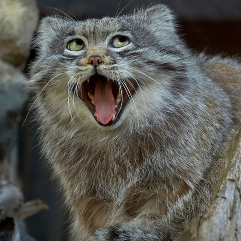 HQ Pallas's Cat Wallpapers | File 63.09Kb