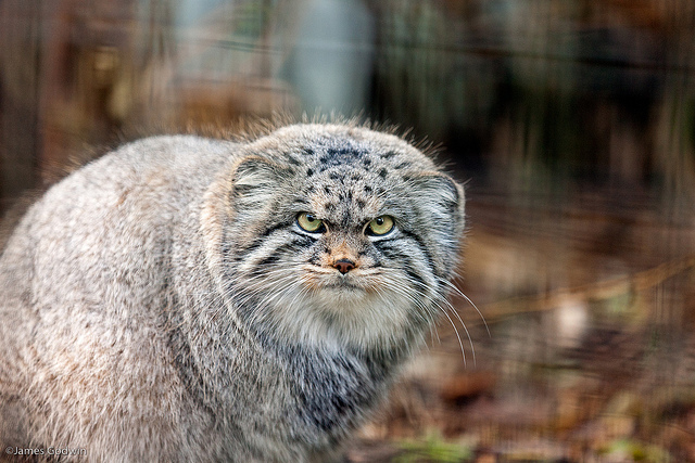Nice wallpapers Pallas's Cat 640x427px