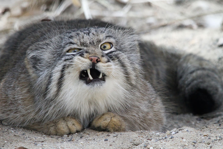 880x587 > Pallas's Cat Wallpapers