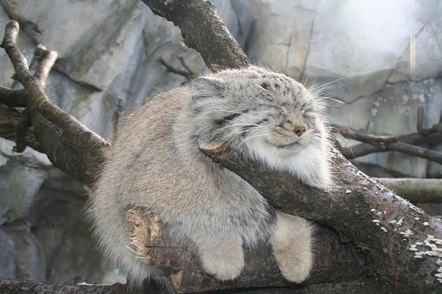 Nice wallpapers Pallas's Cat 880x587px