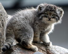220x177 > Pallas's Cat Wallpapers