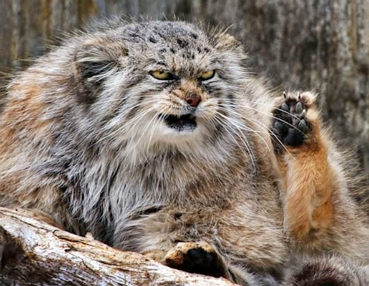Nice wallpapers Pallas's Cat 531x411px