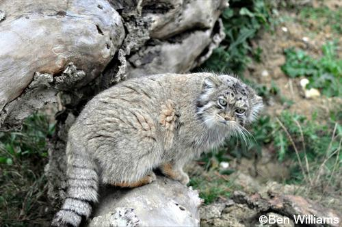 HD Quality Wallpaper | Collection: Animal, 500x332 Pallas's Cat