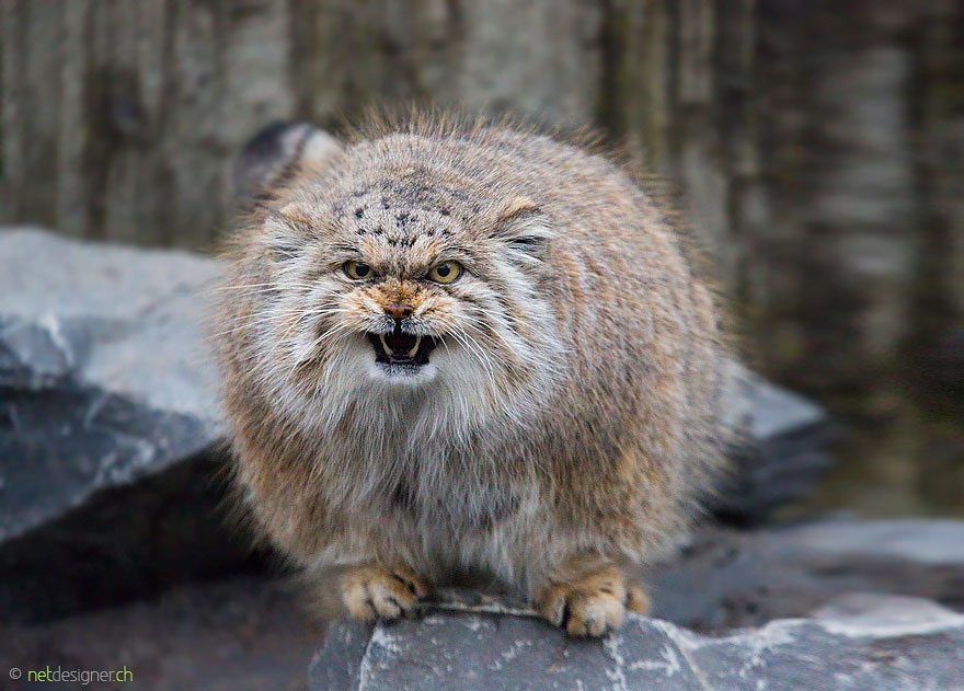 HQ Pallas's Cat Wallpapers | File 111.29Kb