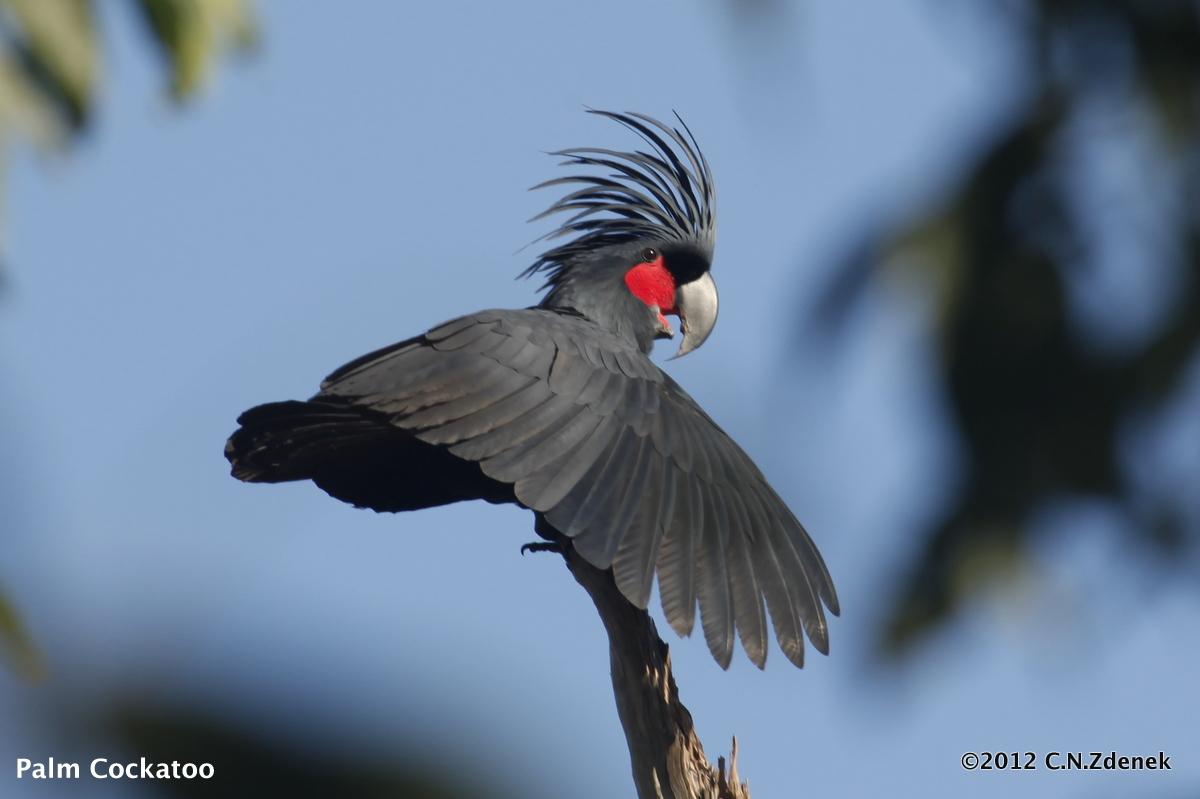 Palm Cockatoo Pics, Animal Collection