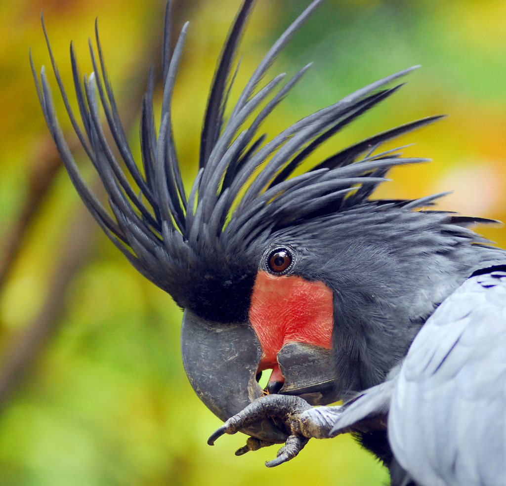 Nice Images Collection: Palm Cockatoo Desktop Wallpapers