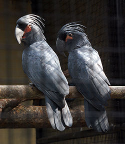 HD Quality Wallpaper | Collection: Animal, 250x287 Palm Cockatoo
