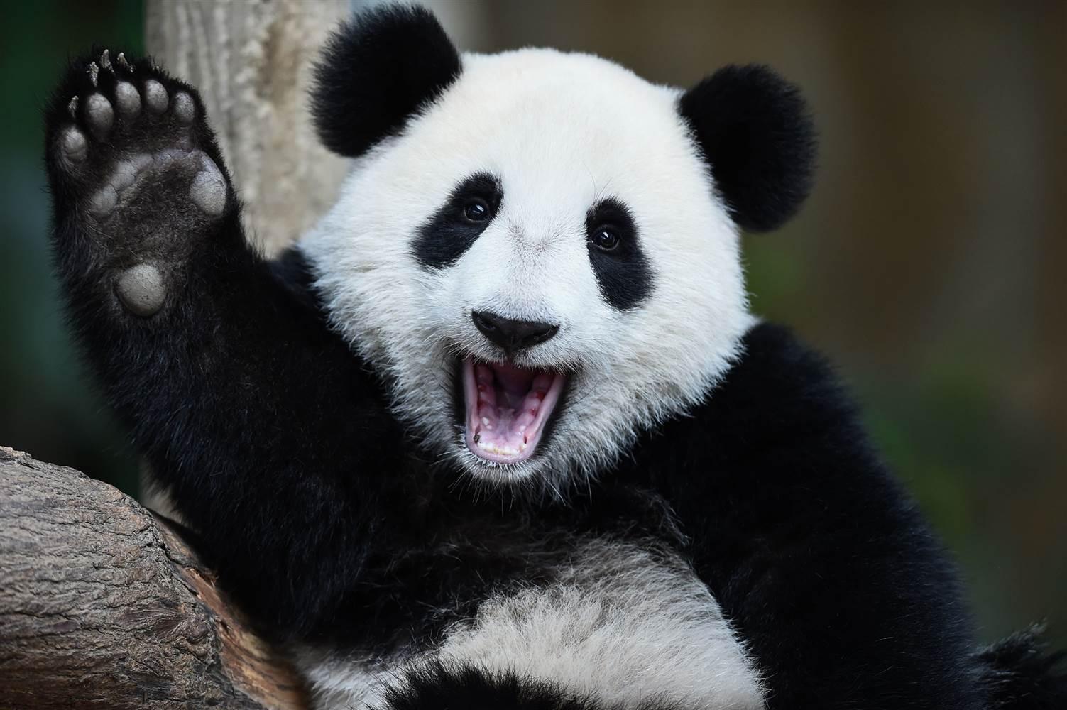 Images of Panda | 1503x1000