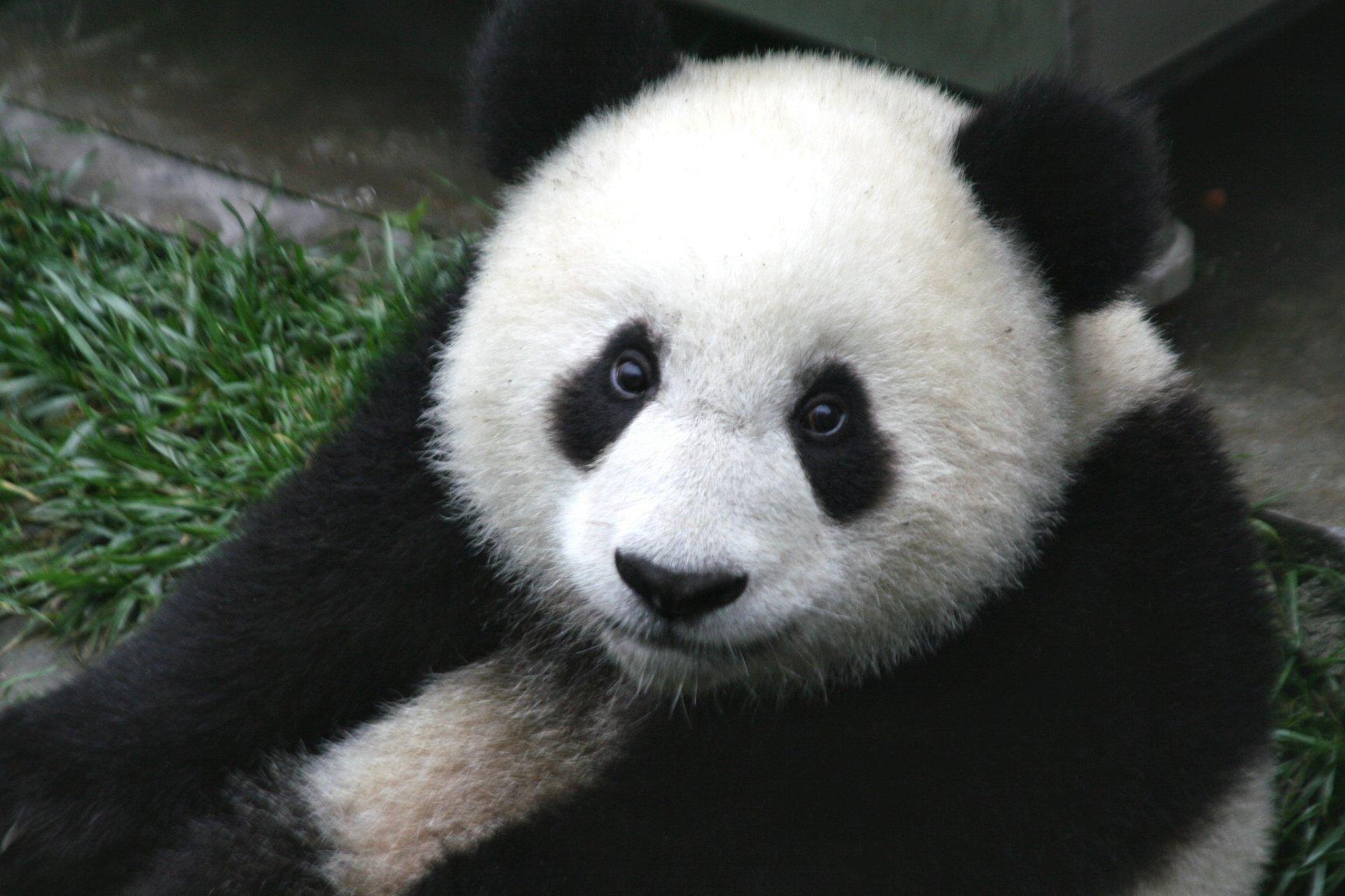 Panda #10