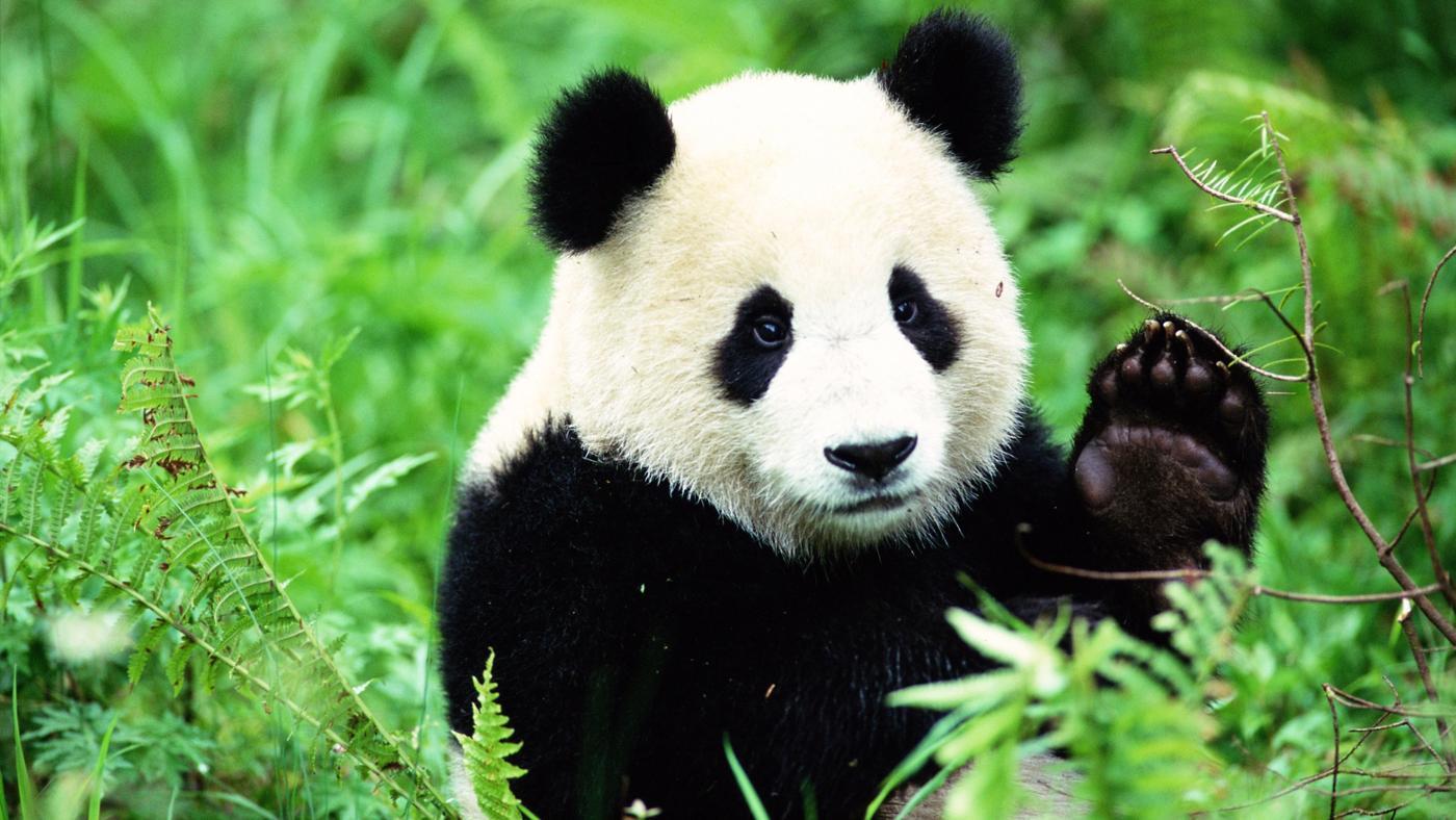 HQ Panda Wallpapers | File 141.99Kb