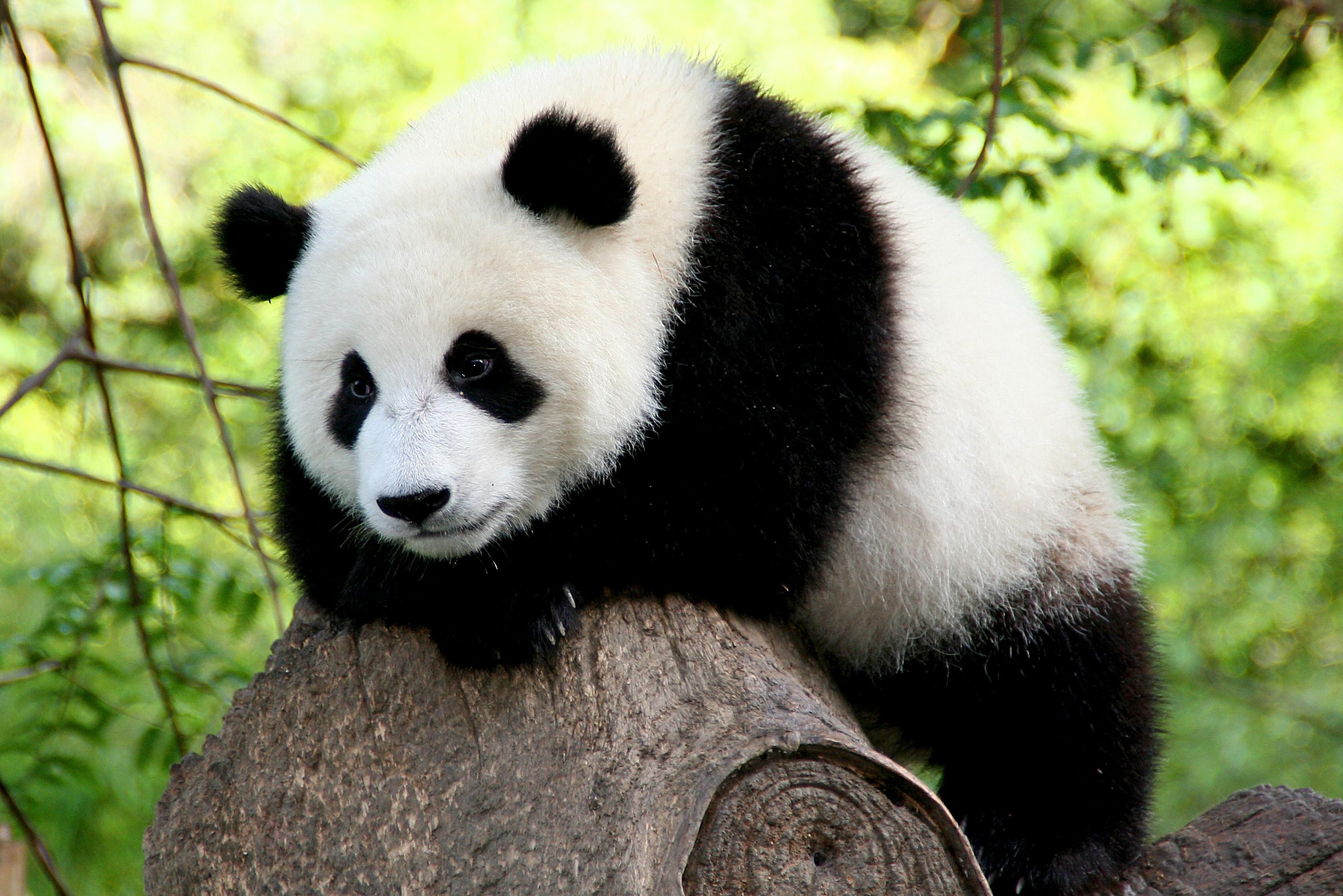 Panda #9