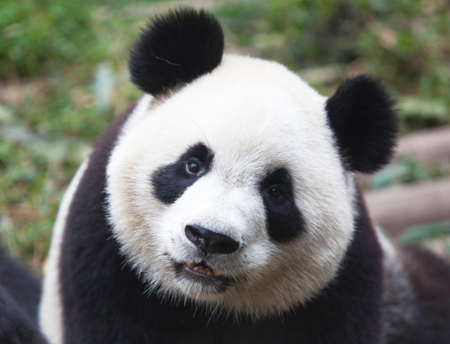 Panda #6