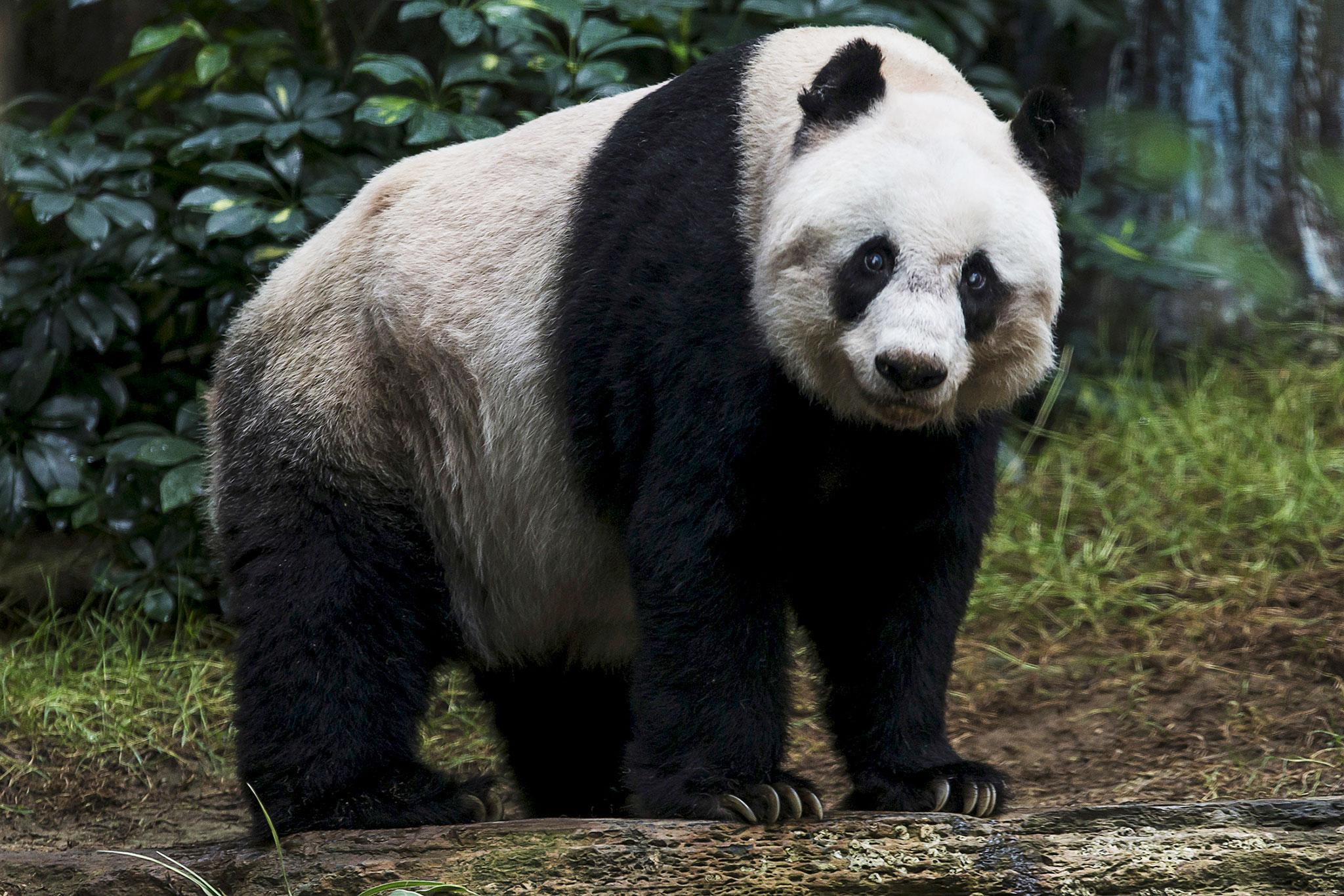 Panda #4