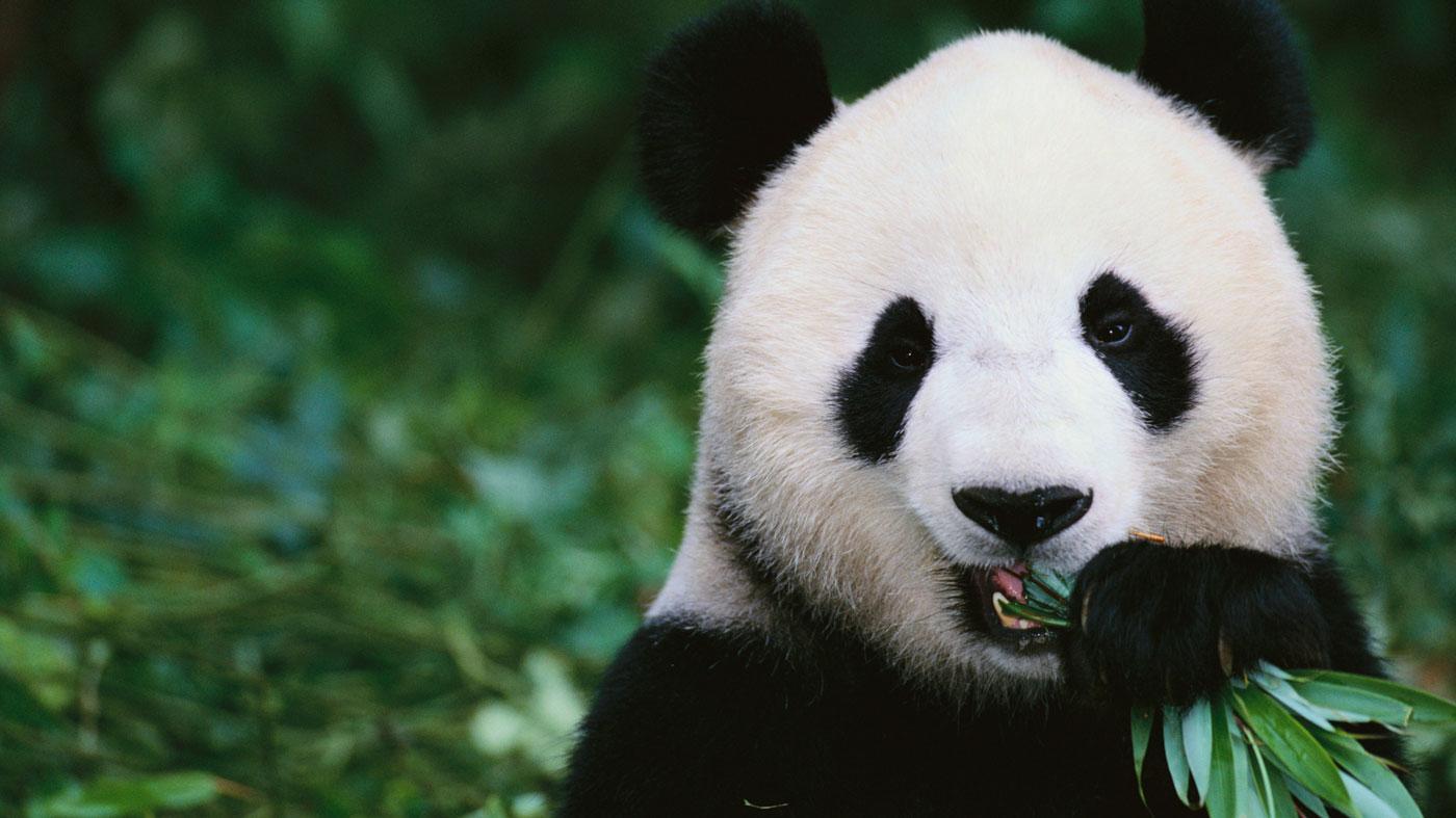 Panda #5