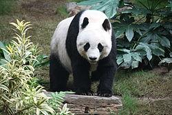 Panda #20