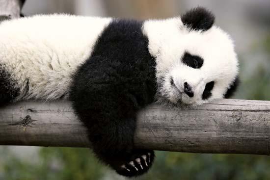 Panda Backgrounds, Compatible - PC, Mobile, Gadgets| 550x367 px