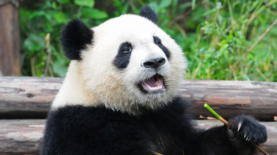 HD Quality Wallpaper | Collection: Animal, 945x531 Panda