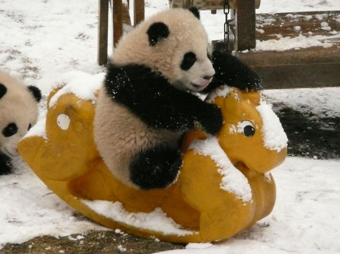 Nice Images Collection: Panda Desktop Wallpapers