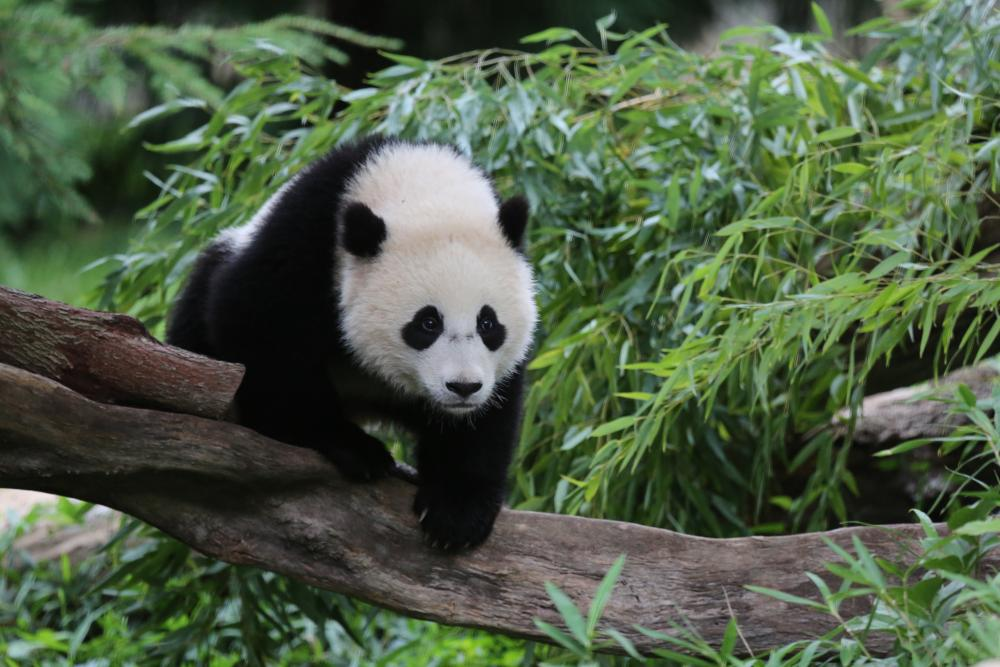 High Resolution Wallpaper | Panda 1000x667 px