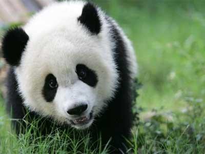 Panda #11