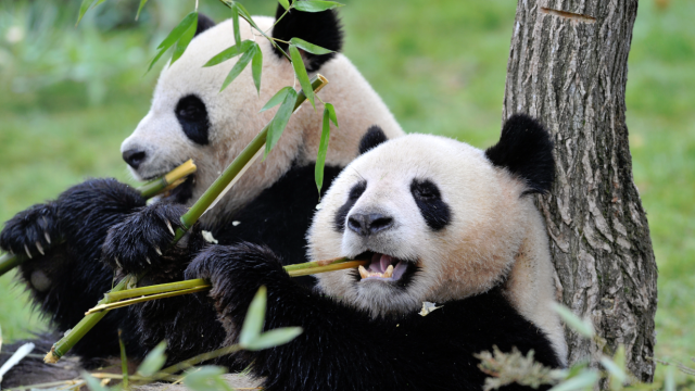 Amazing Panda Pictures & Backgrounds