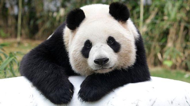 Panda #13