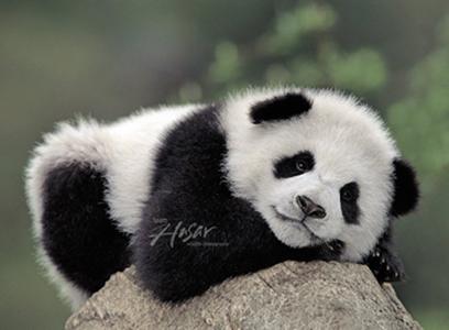 Panda #12