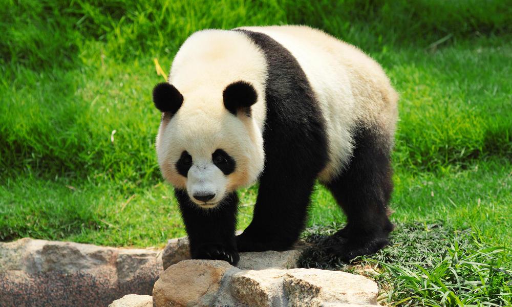 Panda Backgrounds, Compatible - PC, Mobile, Gadgets| 1000x600 px