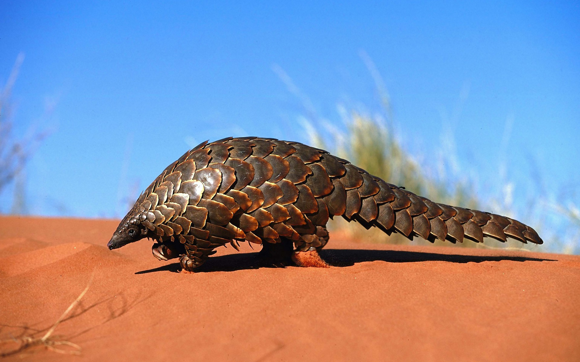 Amazing Pangolin Pictures & Backgrounds