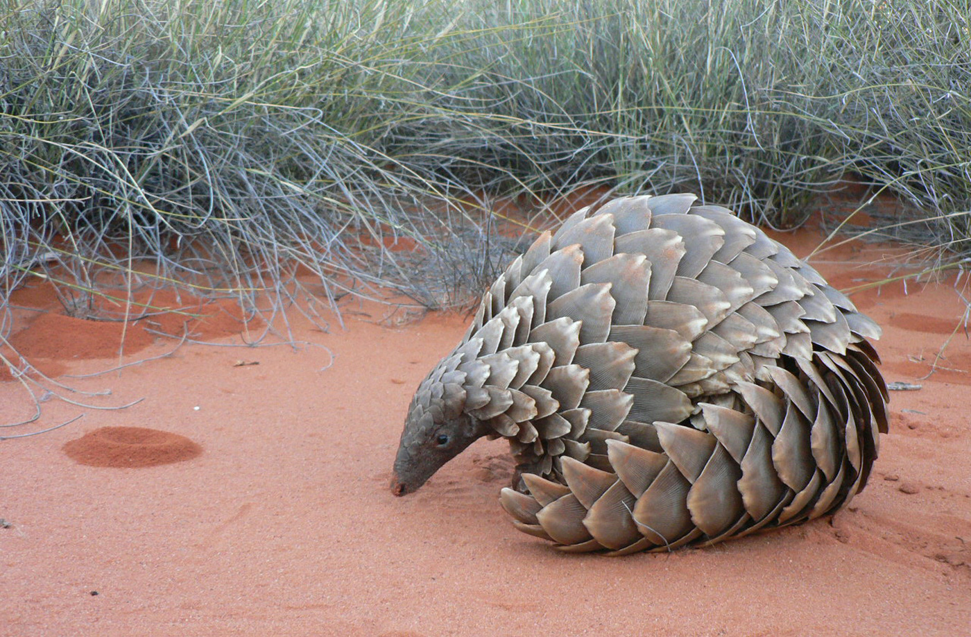 Pangolin High Quality Background on Wallpapers Vista