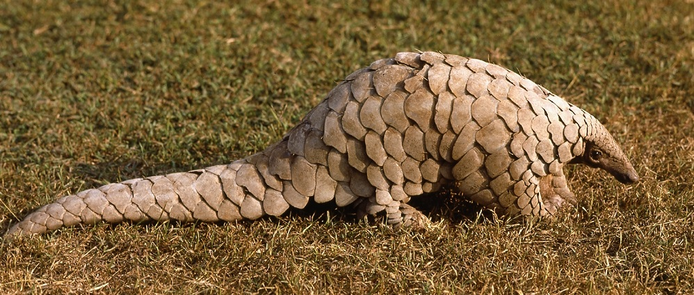 Pangolin Backgrounds on Wallpapers Vista