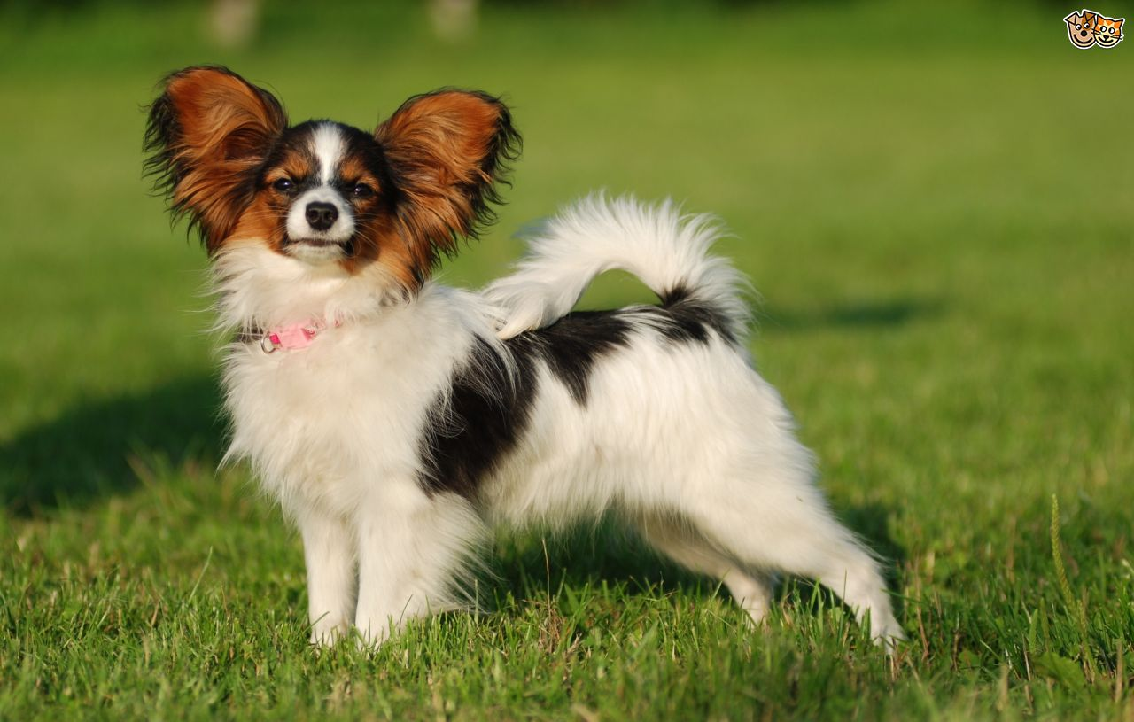 Nice Images Collection: Papillon Desktop Wallpapers