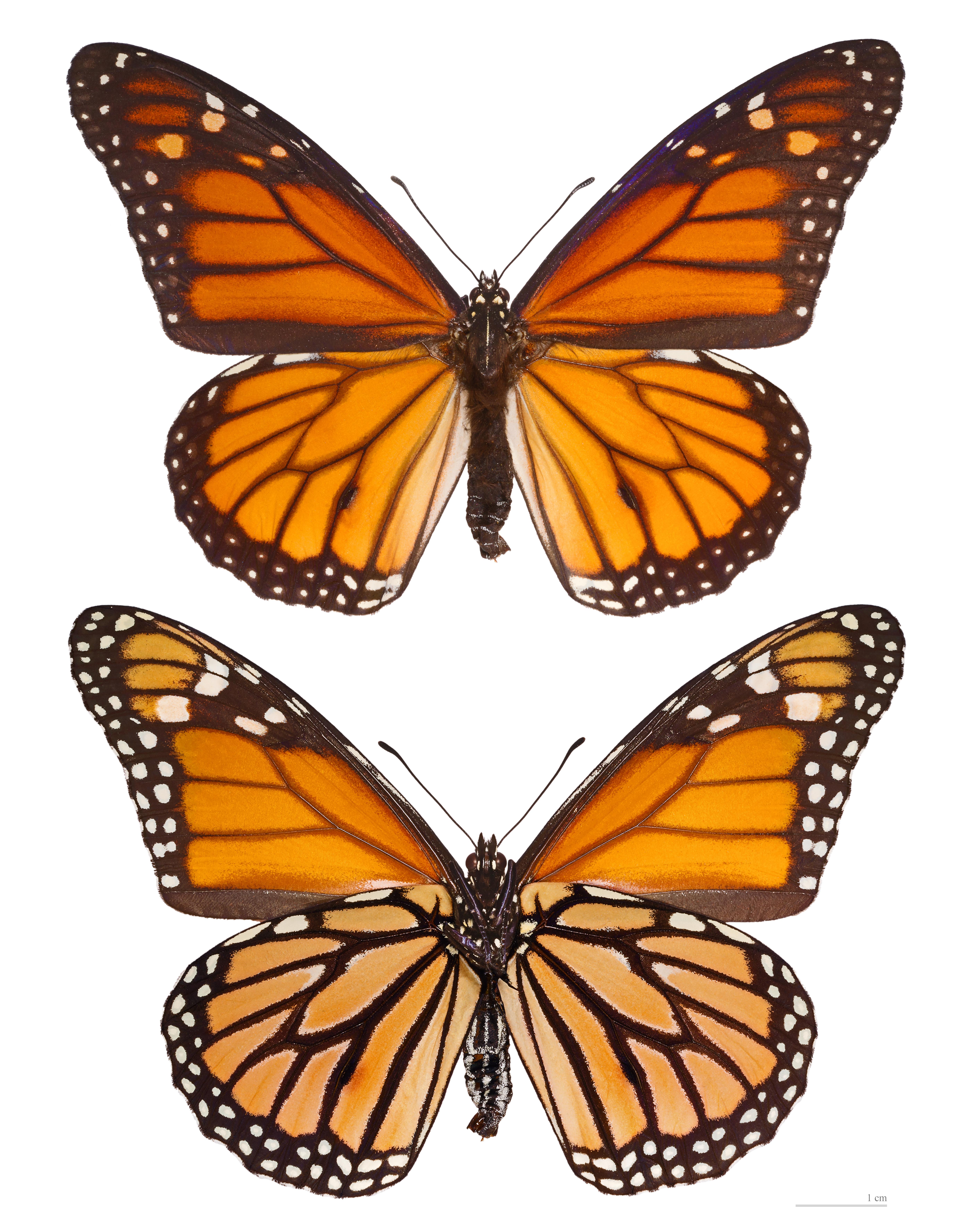 Images of Papillon | 5612x7104