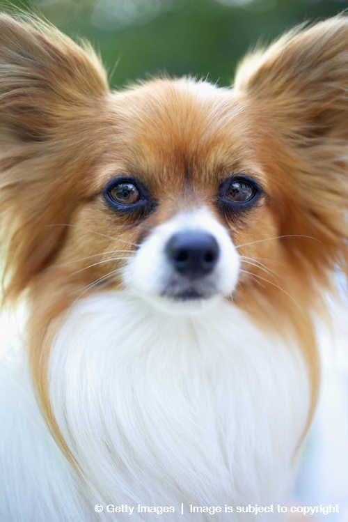 Papillon High Quality Background on Wallpapers Vista