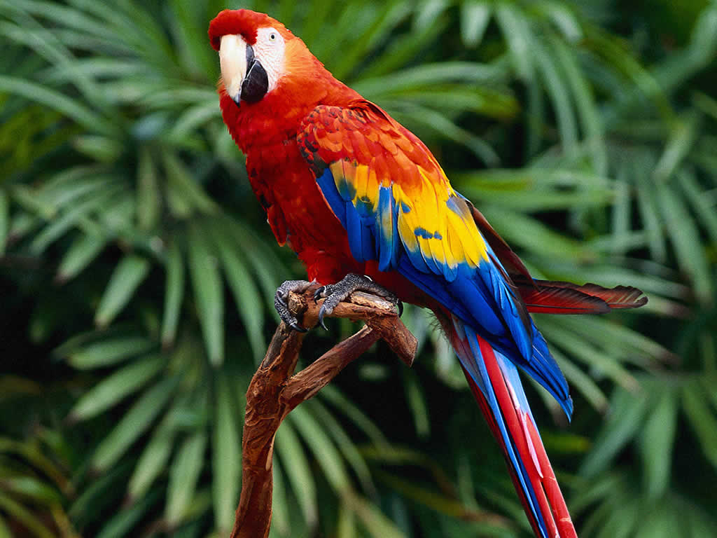 HQ Parrot Wallpapers | File 83.25Kb