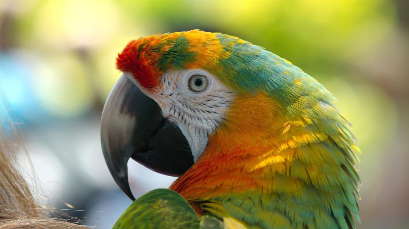 Parrot Backgrounds, Compatible - PC, Mobile, Gadgets| 1400x787 px