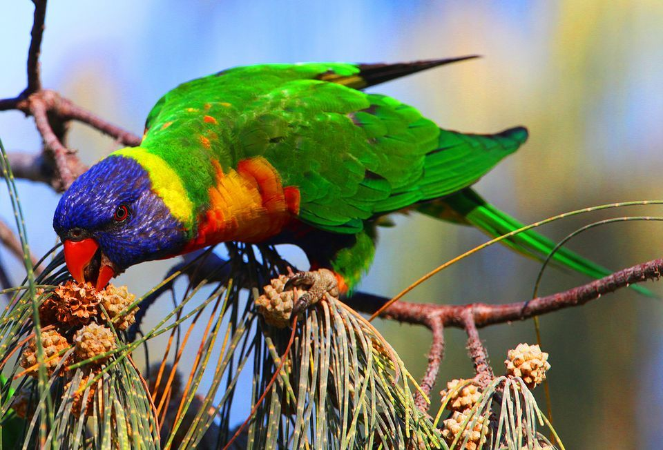 HD Quality Wallpaper | Collection: Animal, 960x652 Parrot