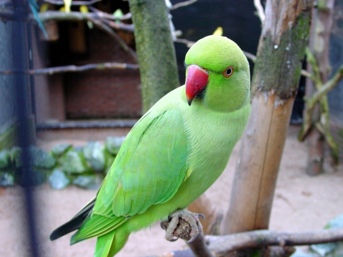 Parrot High Quality Background on Wallpapers Vista
