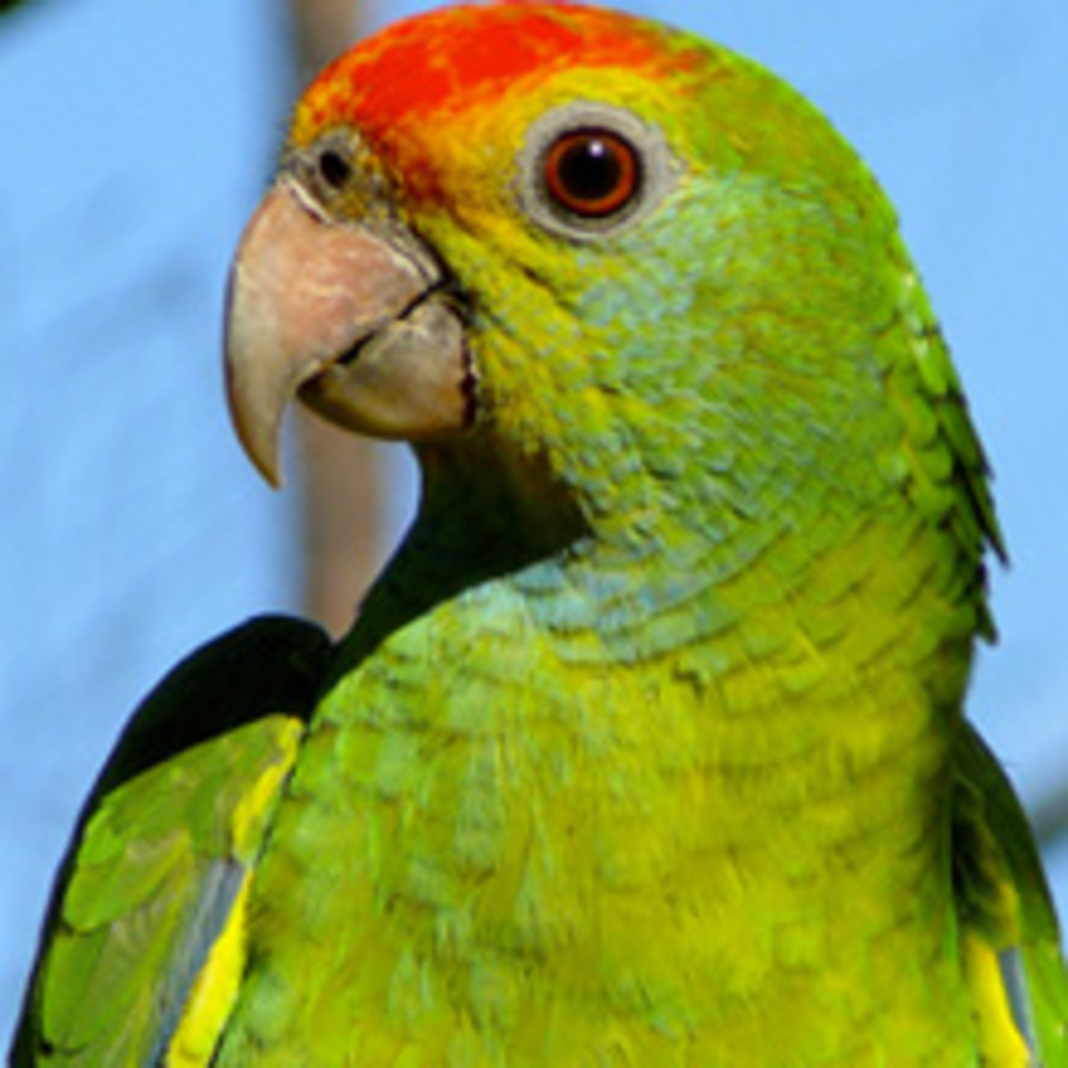 HD Quality Wallpaper | Collection: Animal, 960x960 Parrot