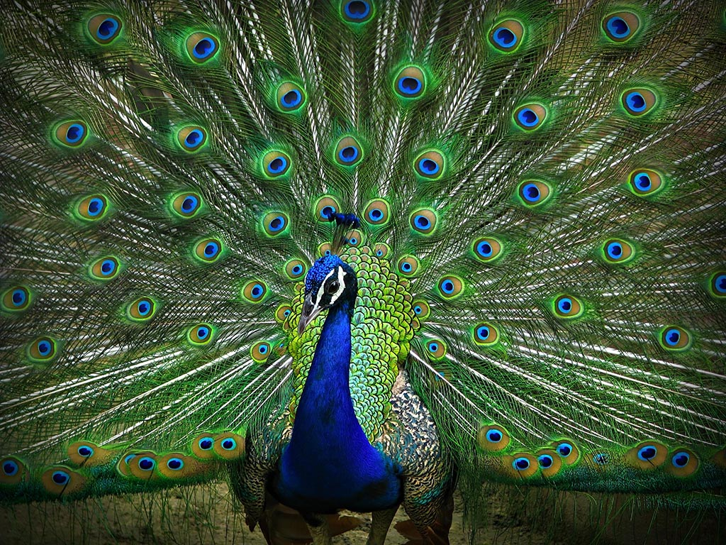 Nice Images Collection: Peacock Desktop Wallpapers