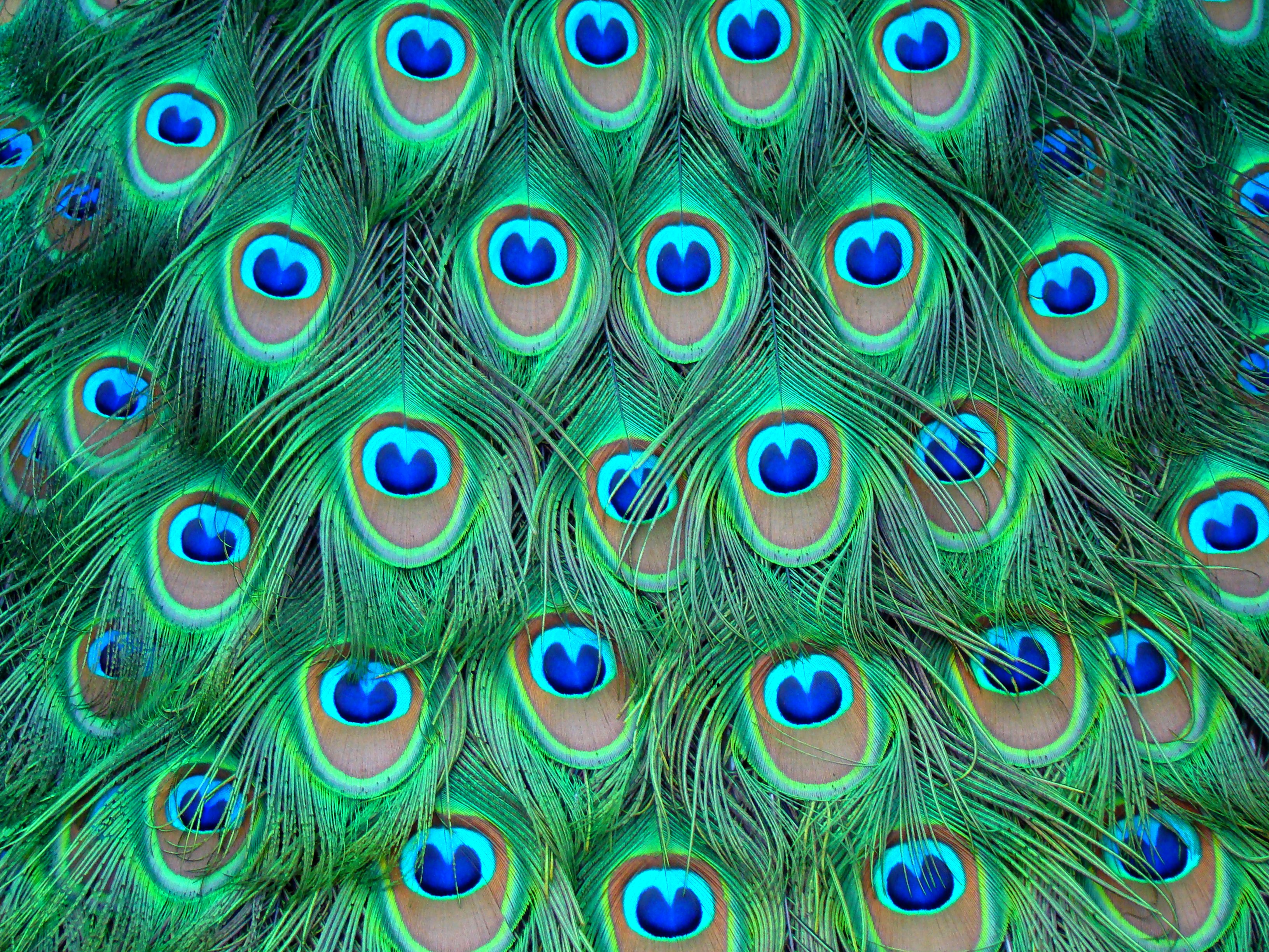 Images of Peacock | 3264x2448