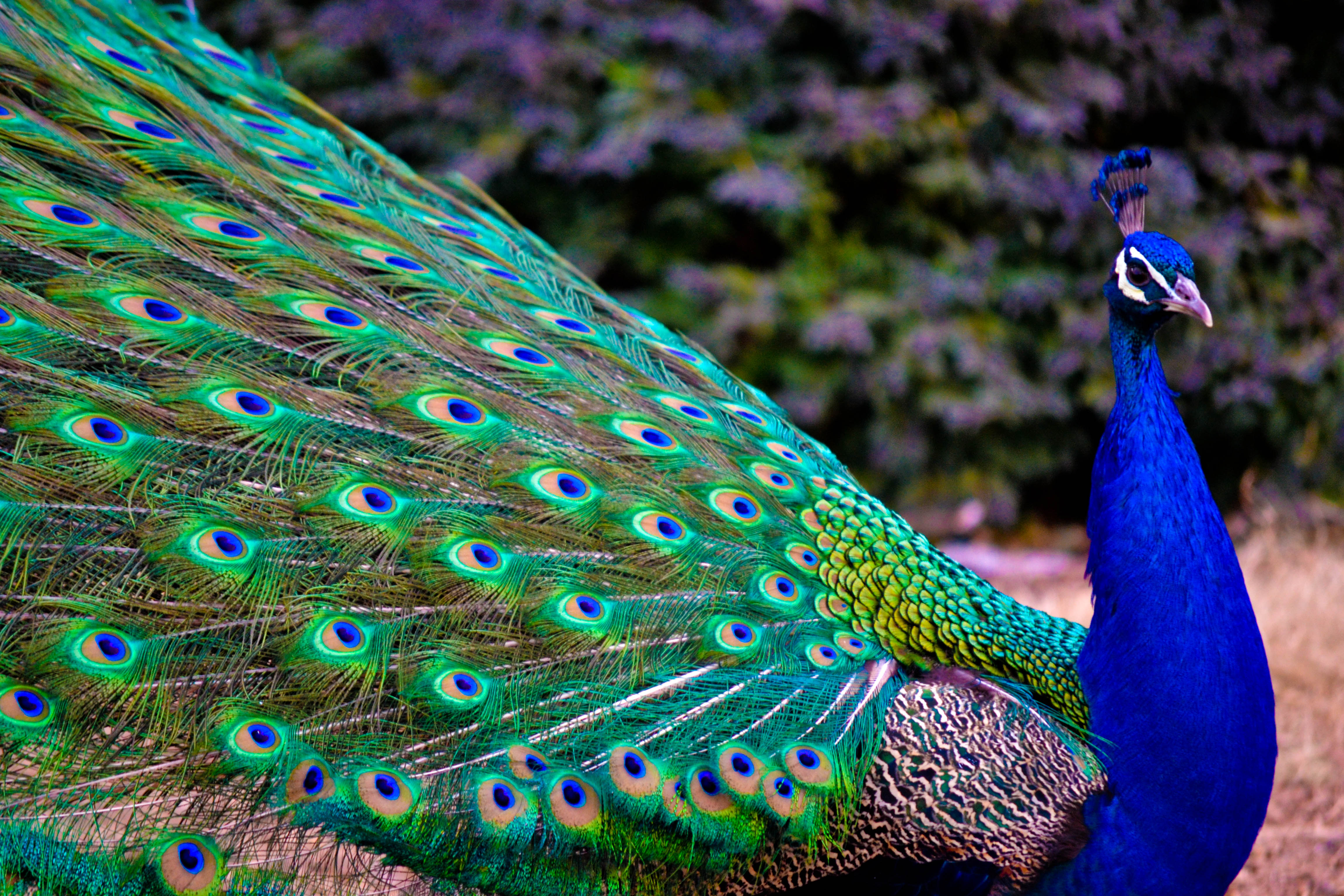 Nice wallpapers Peacock 4608x3072px