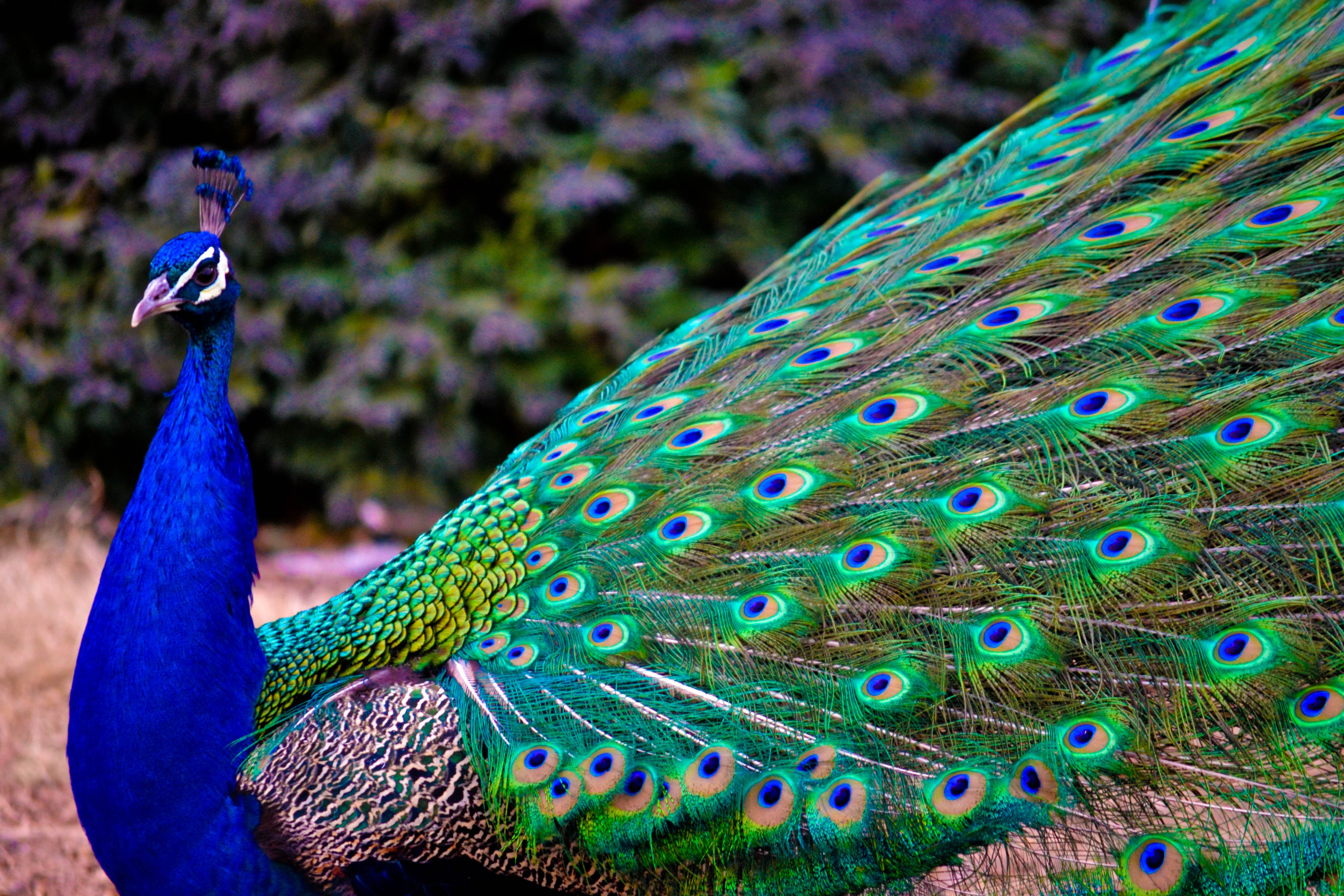 HD Quality Wallpaper | Collection: Animal, 4608x3072 Peacock