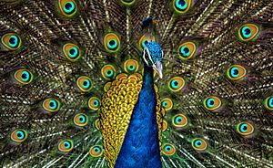 Peacock Backgrounds on Wallpapers Vista