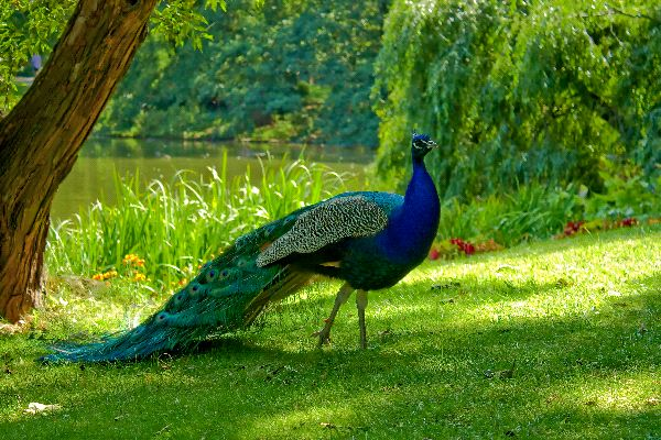 Images of Peacock | 600x400