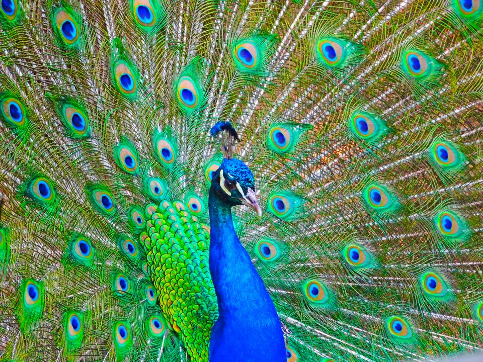 960x720 > Peacock Wallpapers