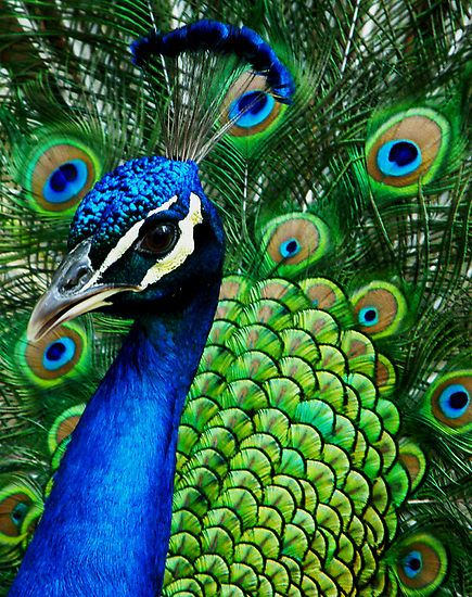 Images of Peacock | 435x550